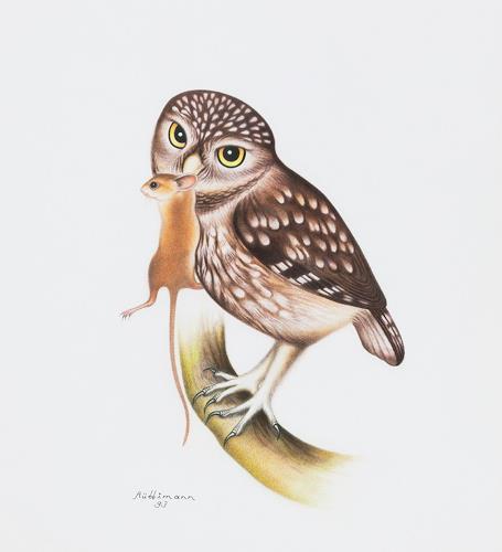 Hans Rüttimann, Steinkauz - Athene noctua (Scopoli) - mit Gelbhalsmaus, Animals: Air, Realism