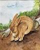 B. C. Davila, kleiner Hase