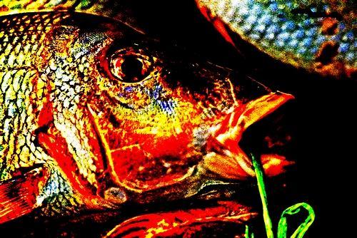 Horst  Brettschneider, Zwischenwelt: Fischkopf,, Nature: Miscellaneous, Photo-Realism