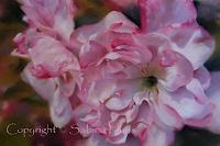 S. Haas, Japanese Cherry Blossom