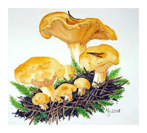 Maria Inhoven, Pfifferlinge ( Cantharellus cibarius ), Miscellaneous Plants, Nature: Earth, Naturalism